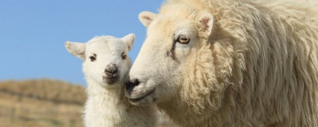 Close up sheep and lamb